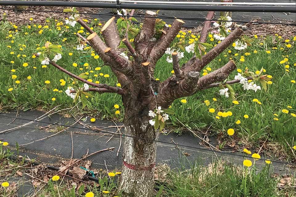 KGB whole tree renewal for cherries pruned at bud break