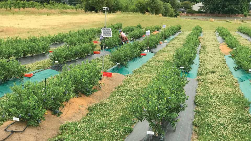 Weed mat color trial in organic blueberries