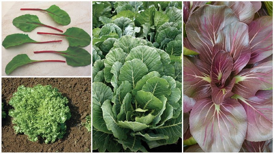 10 Top Leafy Green Crops for 2019 - Growing Produce