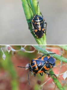 Bragada-bug-compared-to-a-harlequin-bug