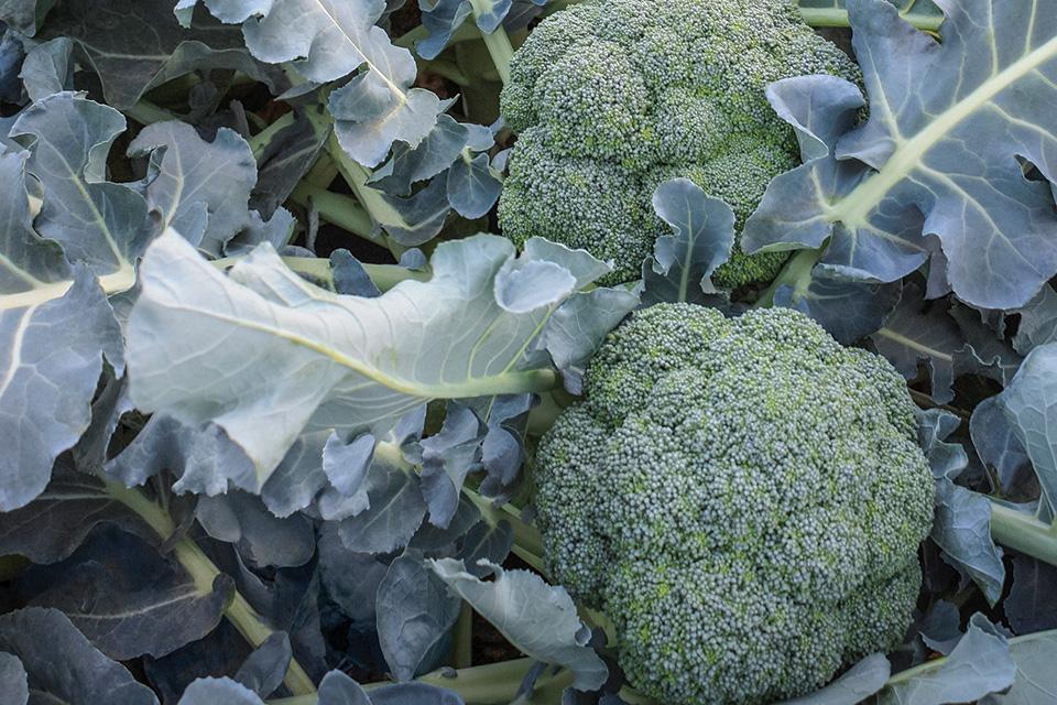Godzilla broccoli variety from Sakata