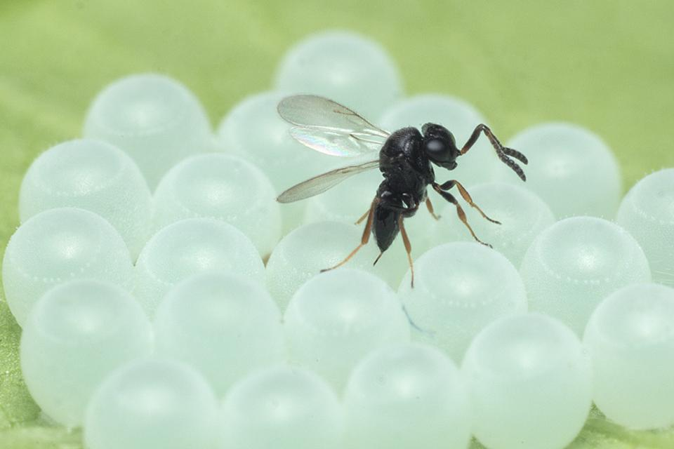 samurai wasp on brown marmorated stink bug eggs