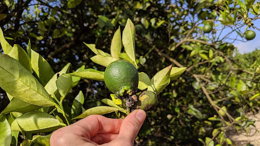 Lebbeck mealybug damage on citrus fruit