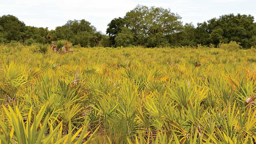 Field of Saw Palmetto at Paul Citrus