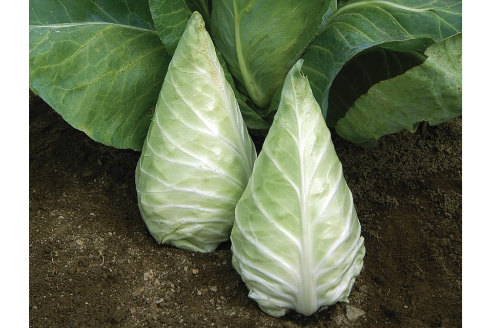 Caraflex Cabbage from Johnnys Seeds