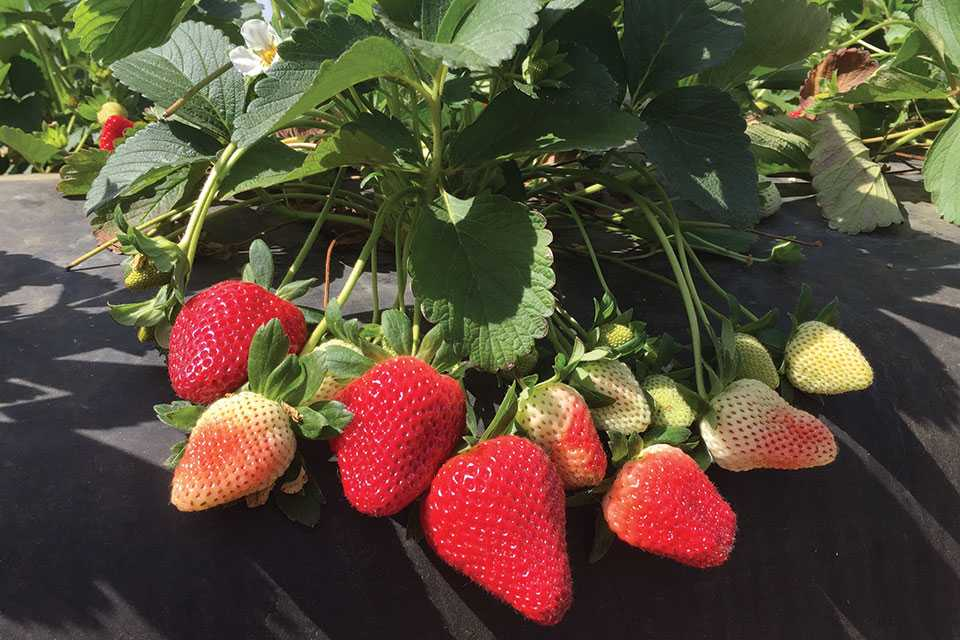 Florida Brilliance strawberry bunch on plastic mulch
