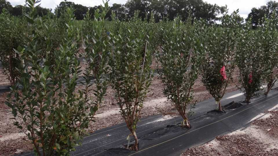 Produce plant seedlings of trees and shrubs