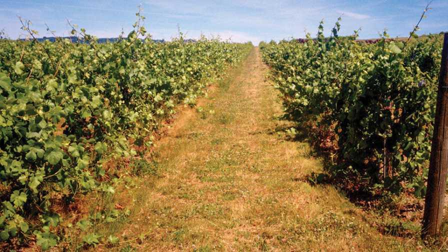 Single wire trellising system in Oregon vineyard