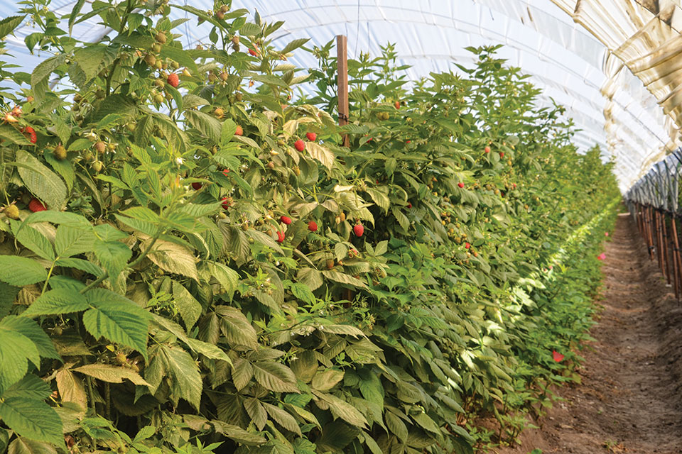 protected raspberry production