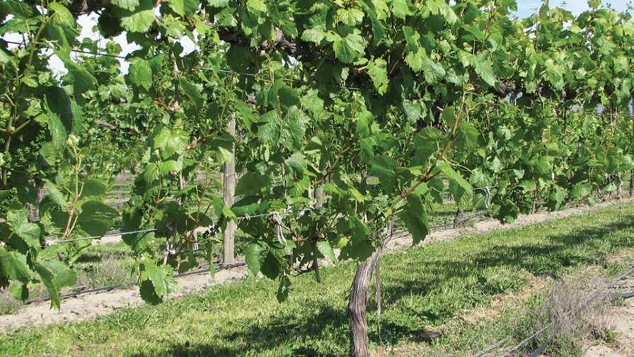 Sylvoz training system in vineyard