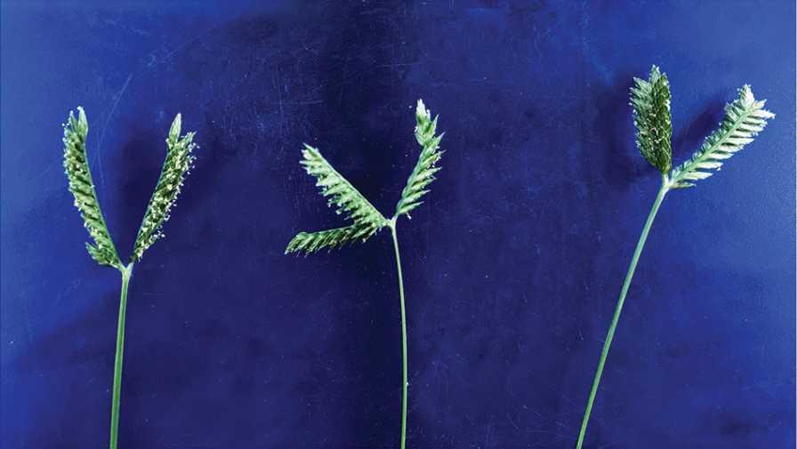 Threespike goosegrass