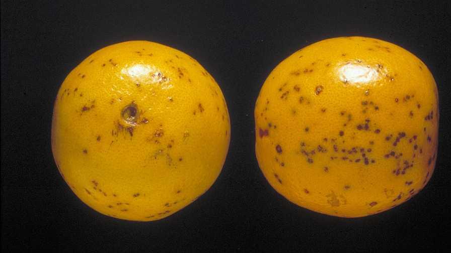 citrus black spot symptoms on Valencia oranges
