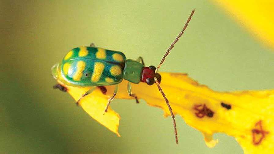 Closeup of a banded cucumber beetle