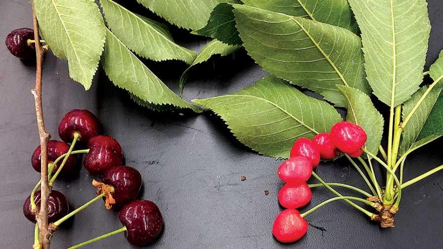 little cherry disease symptoms