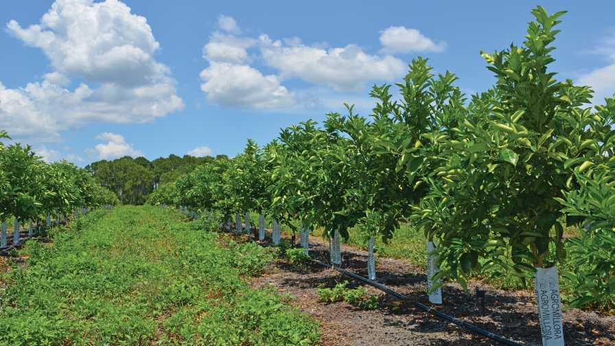 Lost Lake Groves super high-density citrus planting