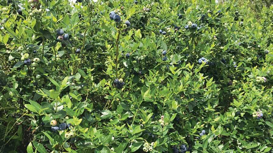 Colossus blueberry variety
