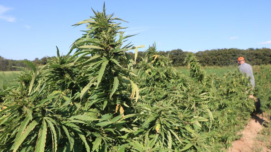 A densely planted industrial hemp field in Central Oklahoma.
