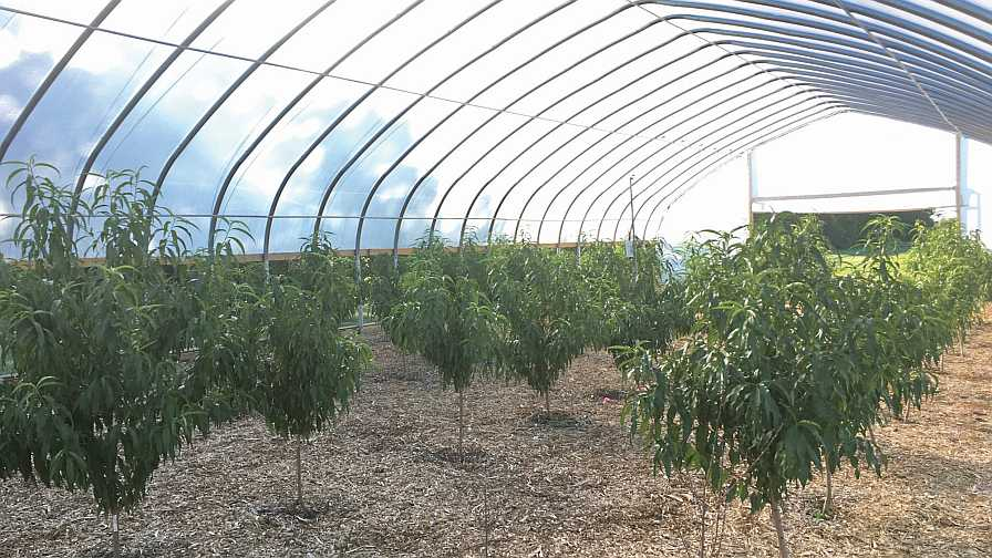 peaches and nectarines growing under a high tunnel
