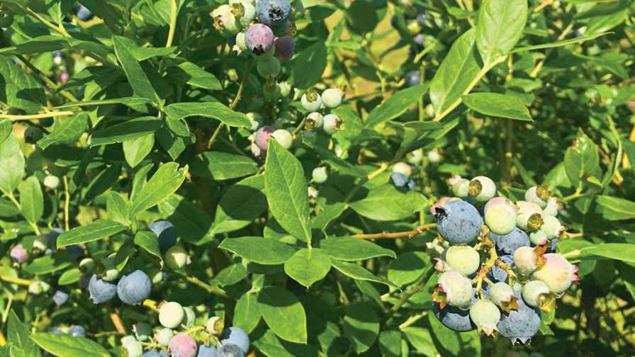 Optimus Blueberry variety