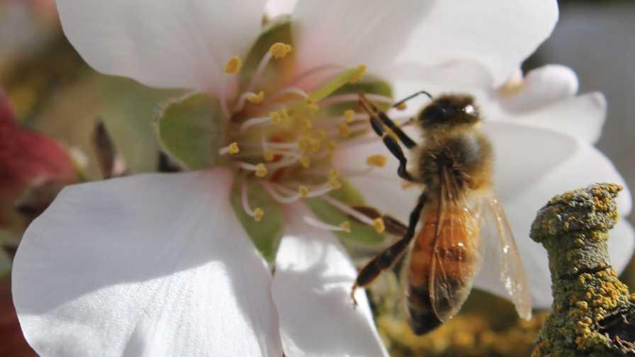 Honey bee on almond blossom