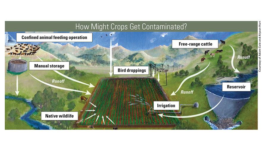 Crops-Get-Contaminated-chart