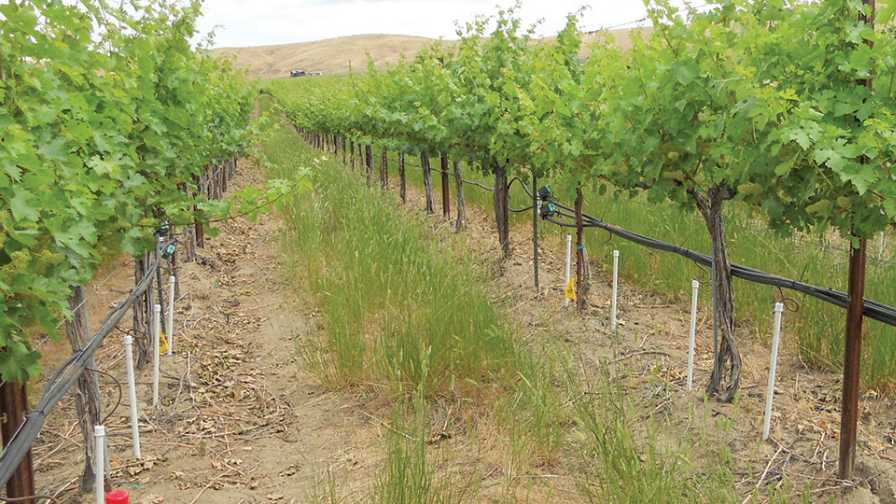 direct root zone irrigation setup for grapes in vineyard