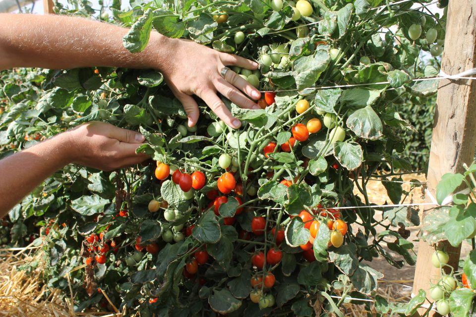 Ruby Crush grape tomato at California seed trials