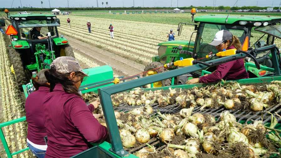 Seminis harvesting onions