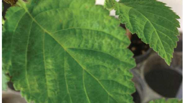 Indicator plant showing virus symptoms