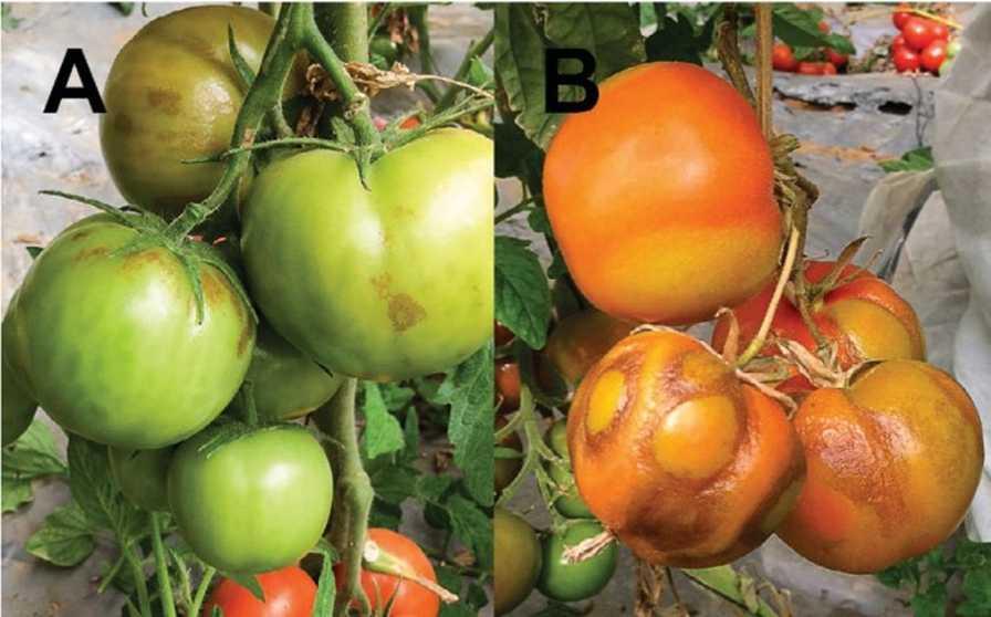 tomato brown rugose virus symptoms
