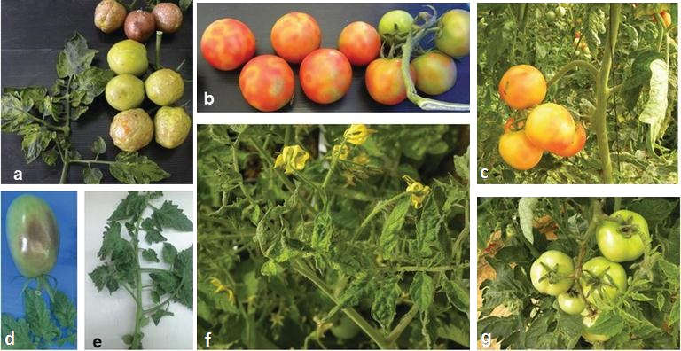 Collage of tomatoes infected by tomato brown rugose fruit virus