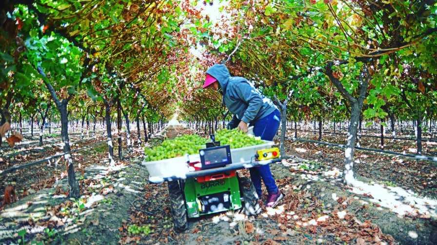 Augean Robotics' Burro at work in a vineyard