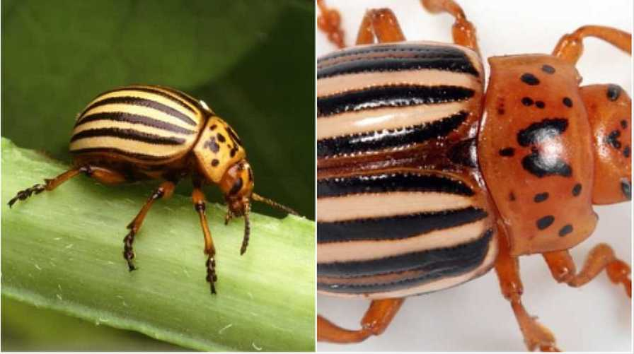 Collage of Colorado potato beetle and false potato beetle