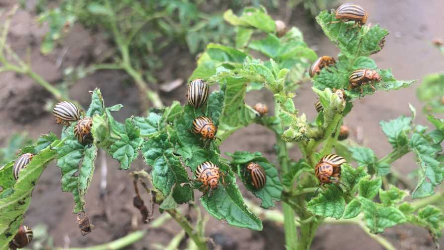 Adult Colorado Potato Beetles feeding