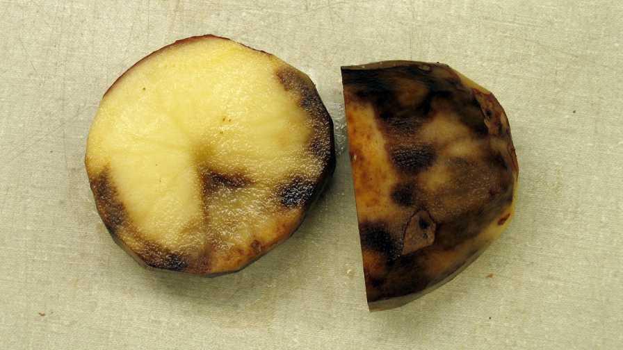 علائم بیماری دیررس سیب زمینی