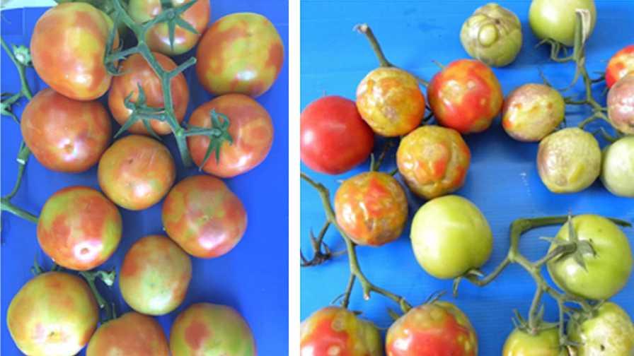 Symptoms of Tomato brown rugose fruit virus (ToBRFV)