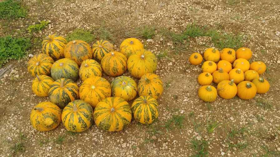 Pumpkins grown in Florida