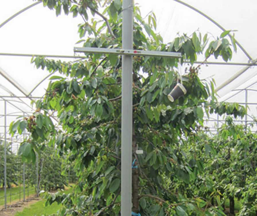 Double-T trellis supporting table top cherry production system