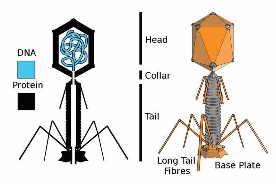 Diagram of bacteriophage structure