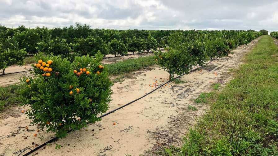Bingo citrus planting in Central Florida