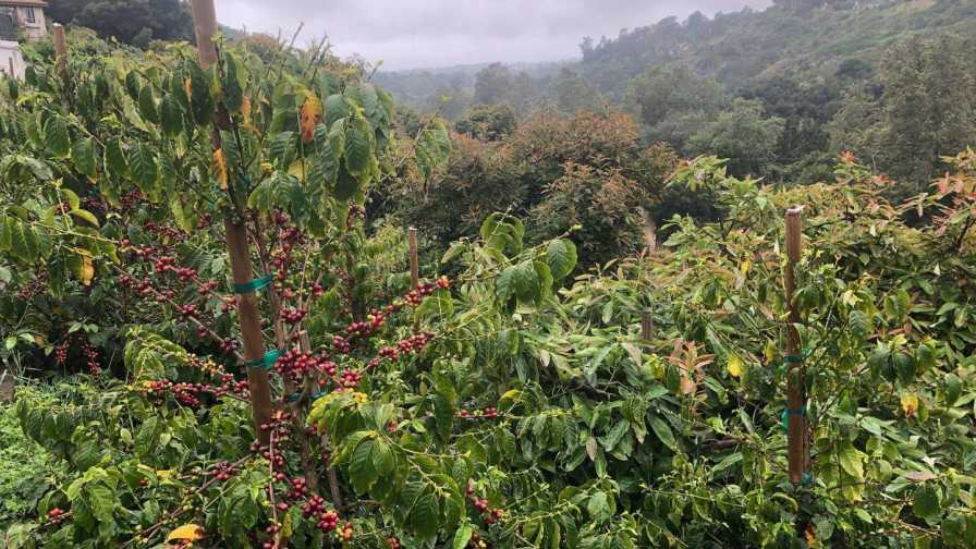 Coffee plants growing in the hills of Santa Barbara