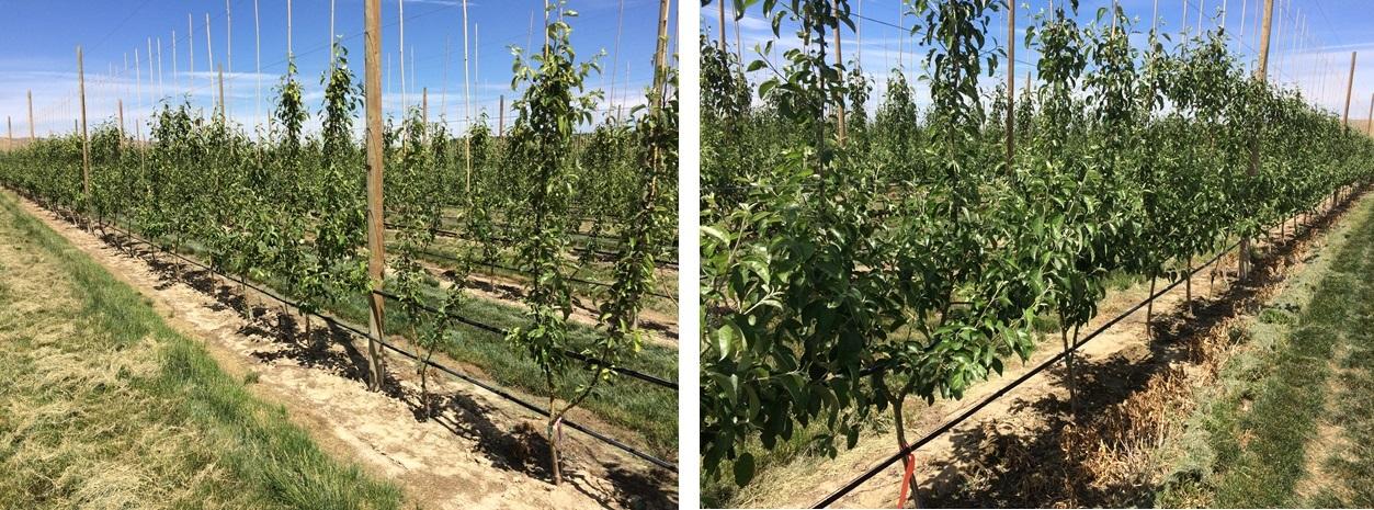 Rooterra high-density apples