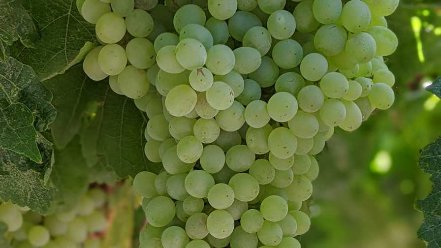 Cluster of Thompson grapes