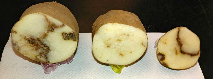Symptoms of Tobacco Rattle Virus on Potato