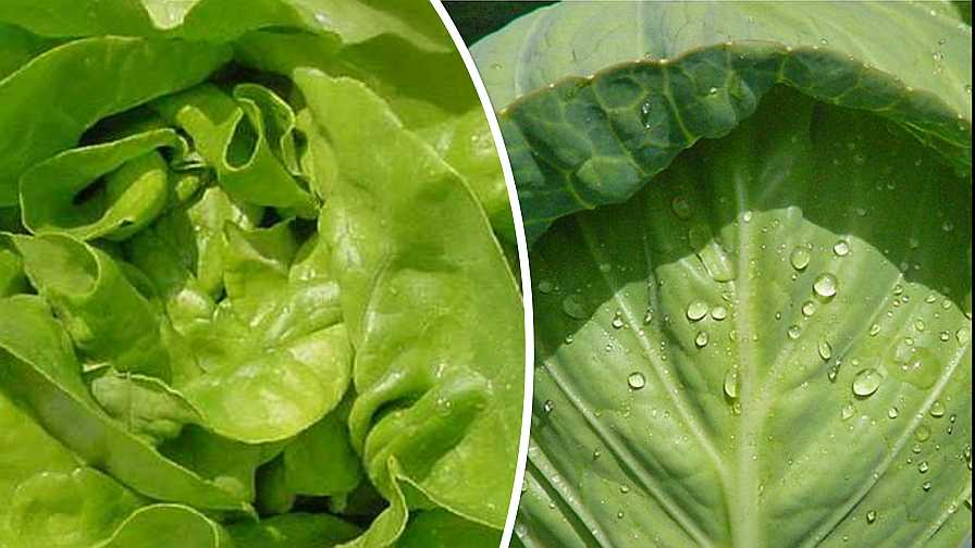 Boston lettuce and early cabbage collage
