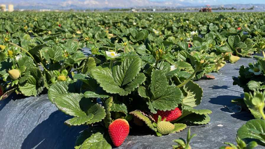 Wish Farms strawberry field in Oxnard, CA