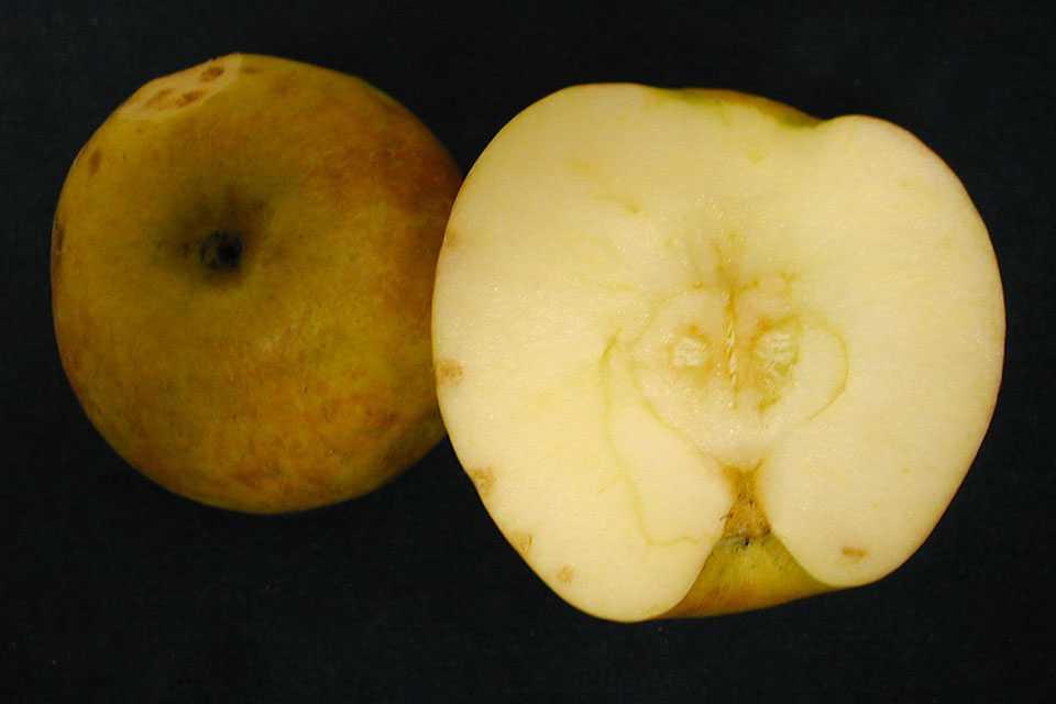 Bitter pit symptoms in Honeycrisp