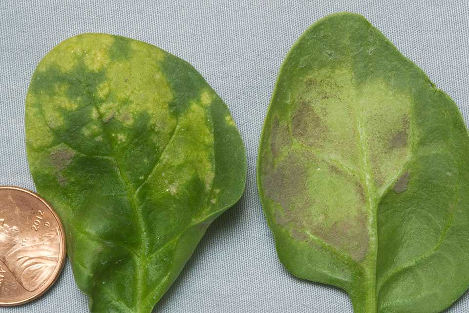Downy mildew symptoms on spinach leaves