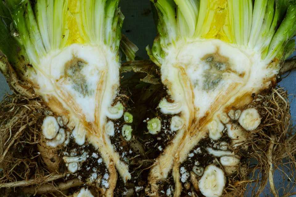 Fusarium yellows symptoms on celery