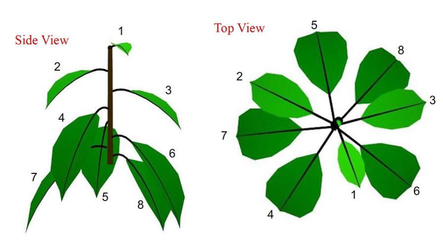 Fibonacci cherry leaf diagram